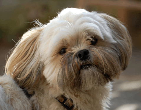 Lhasa Mixed With Yorkie Dog Breed