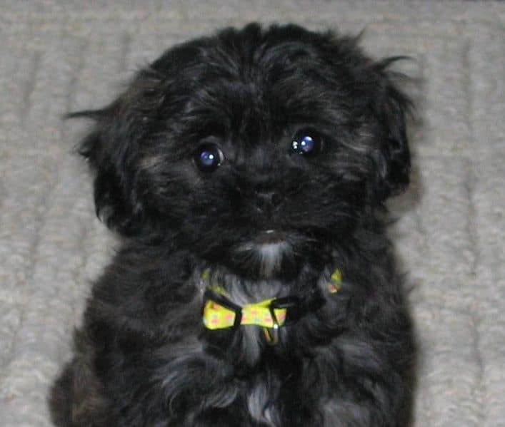 Black Shih Poo Dogs