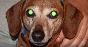 Why Dogs' Eyes Glow