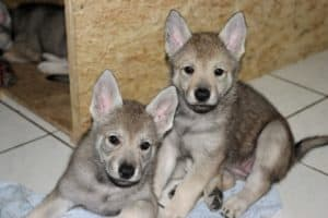 Czechoslovakian Wolfdog Puppies